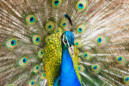 indian peafowl: Closeup of Male Indian Peafowl with beautiful tail