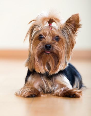 laminated: Yorkshire Terrier laying on laminated floor