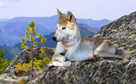 timber wolf: White wolf lays on rock in wildness mountains area Stock Photo