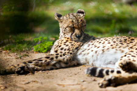 undomestic: Cheetah  (Acinonyx jubatus) lying over ground