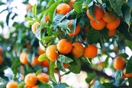 Close-up of tangerin tree with mandarins in orchard photo