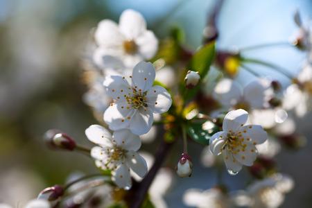 blooms: blooms tree branch in spring garden Stock Photo
