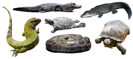 reptilian: Set of reptilian. Isolated over white background Stock Photo
