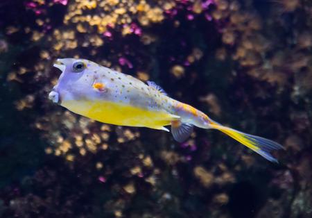 boxfish: yellow boxfish (Ostracion cubicus) in  water