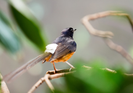 wildness: Exotic bird - white-rumped shama (Copsychus malabaricus)  at wildness