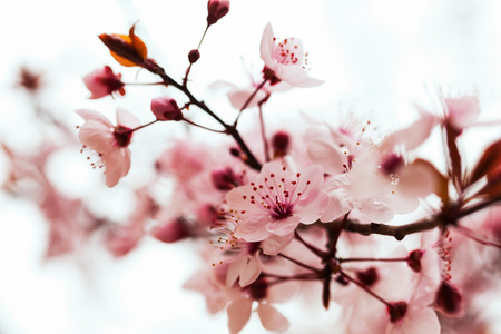 almond bud: almond tree  branch in spring blooms Stock Photo