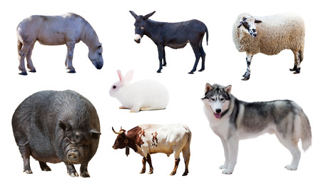 donkey  ass: Standing Siberian Husky and other farm animals. Isolated over white background