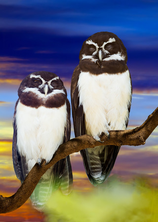 spectacled: Spectacled Owls couple on tree against sunset
