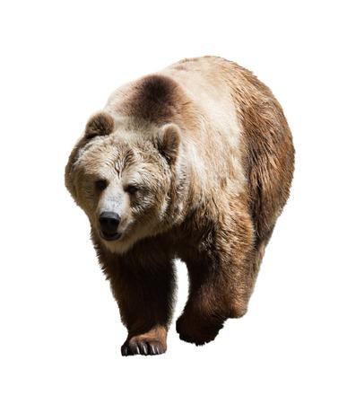 oso blanco: Oso adulto. Aislado en blanco