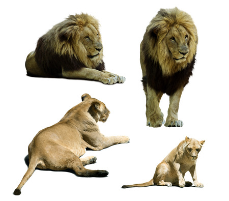 lions on on white background