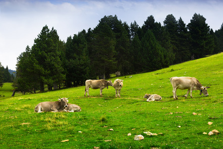 Cows in forest meadow in summer photo