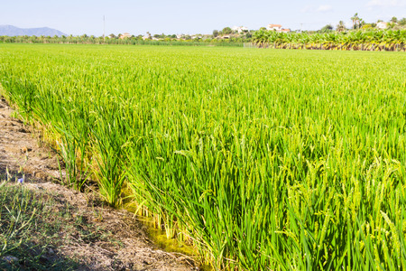 ebre: rice fields at Ebro Delta in summer