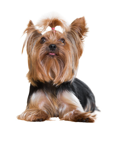 cur: Popular companion dog breed Yorkshire Terrier. Isolated on  white background