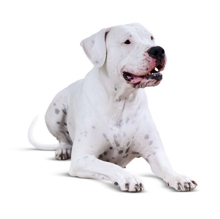 argentino: Lying  Dogo Argentino. Isolated over white  background with shadow Stock Photo