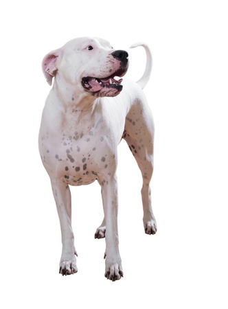 argentino: Dogo Argentino. Isolated over white Stock Photo