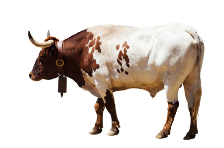 background  white: Standing adult bull. Isolated over white background Stock Photo