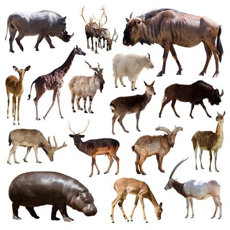 jirafa fondo blanco: Conjunto de ñu azul, hipopótamos y otros animales mamíferos artiodáctilos más de fondo blanco