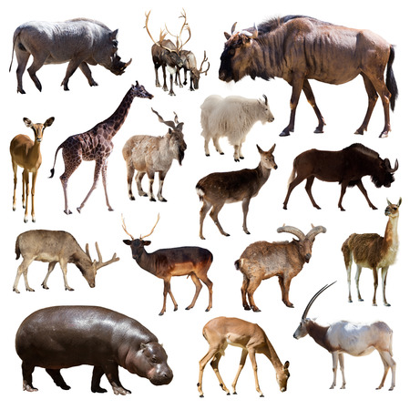 Set of blue wildebeest, hippo and other Artiodactyla mammal animals over white background