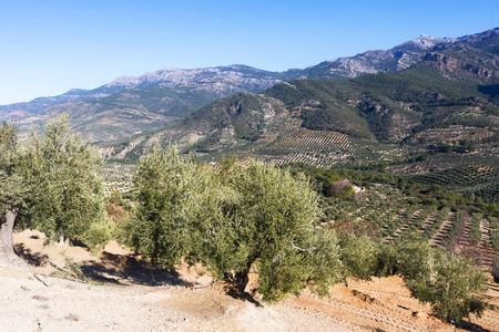 Mountains landscape with olives plants.  Andalusia, Spain photo