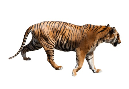 tiger isolated: Adult tiger. Isolated  on white