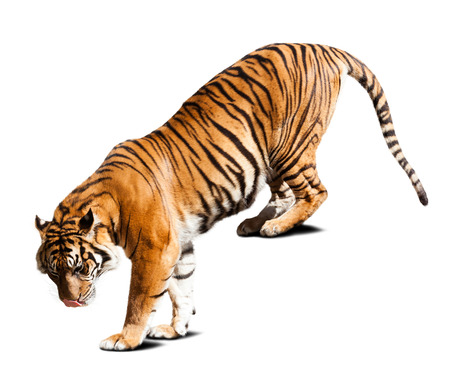 tiger: Adult tiger. Isolated  on white with shade