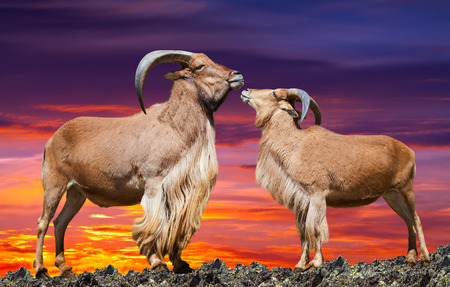 africa kiss: couple of  sheeps  on rock in sunset Stock Photo