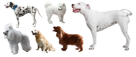argentino: Set of Dogo Argentino and other dogs. Isolated on white