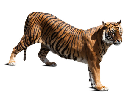 catamountain: Adult tiger. Isolated  on white background with shade Stock Photo