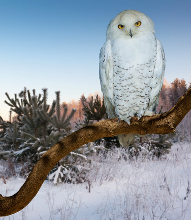 wildness: Sitting snowy owl  at  wildness Stock Photo