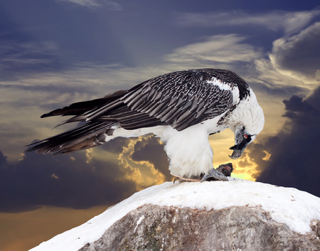 fulvus: full length shot of Griffon vulture (Gyps fulvus) against sky background Stock Photo