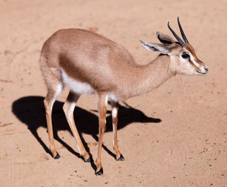 gazelle: dorcas gazelle (Gazella dorcas) on sand