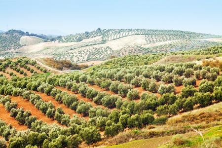 arboleda: paisaje de otoño con aceitunas planta entre colinas Foto de archivo