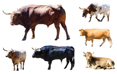 Set of bulls and cows  over white  background