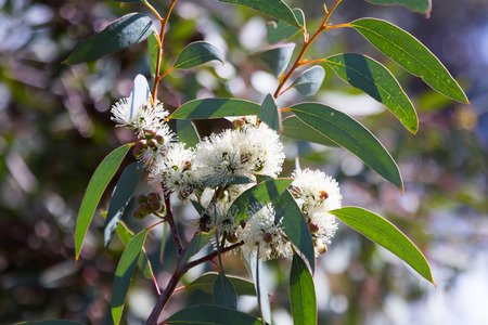 bush to grow up: blossoming soap mallee  (Eucalyptus diversifolia) plant  in spring