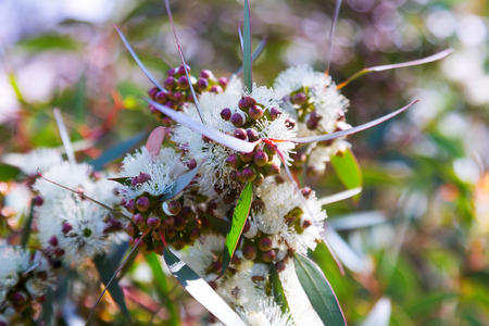 bush to grow up: soap mallee leaves   with flowers in spring