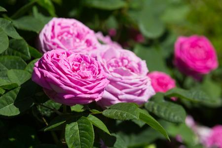 day flowering: Flowering  rose roses plant at spring  garden in sunny day