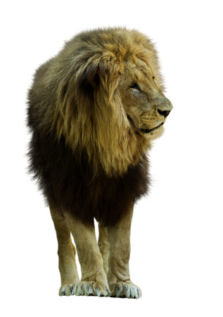 standing lion: Standing lion. Isolated  on white