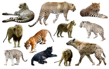 hienas: Conjunto de hienas, leopardos y otros Feliformia. Aislado en blanco