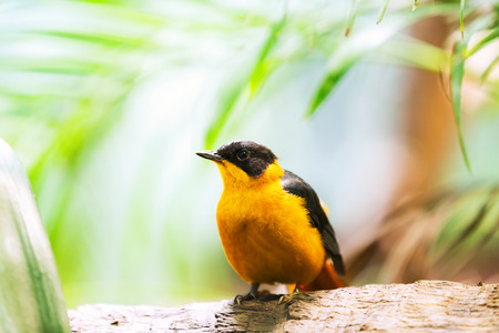 oriole: oriole (Oriolus chinensis) in forest