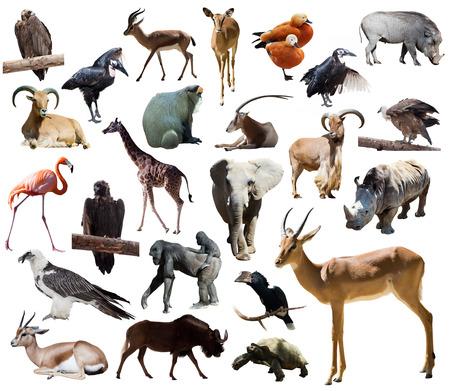jirafa fondo blanco: Impala masculino otros animales africanos. Aislado sobre fondo blanco
