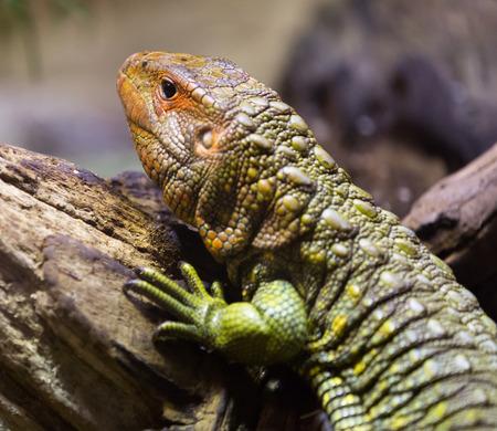 reptilia: Closeup of  Northern Caiman Lizard
