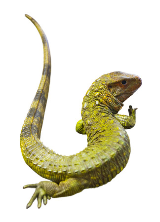 over white background: Northern Caiman Lizard  over white background