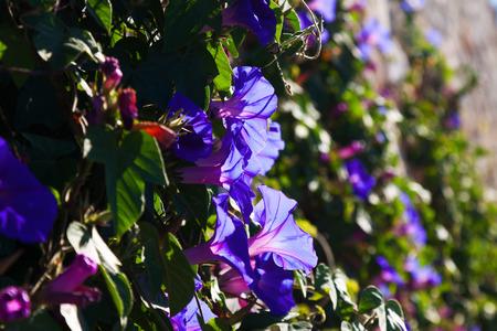 convolvulus: convolvulus plant in sunny day Stock Photo