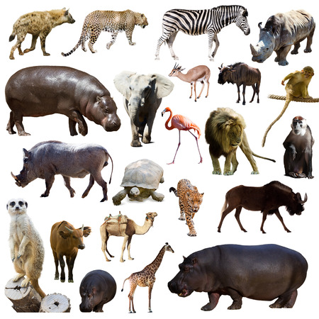 Set of hippopotamus  and other African animals. Isolated over white Stock Photo