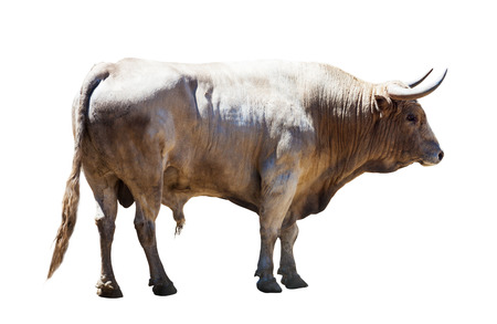 male bull: Standing grey bull, isolated over white background