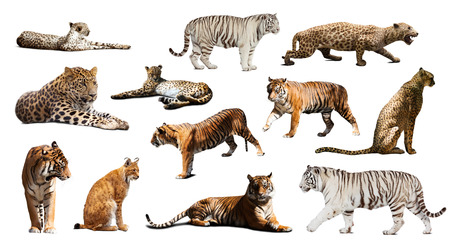 irbis: Set of  tiger and other big wildcats. Isolated over white background with shade