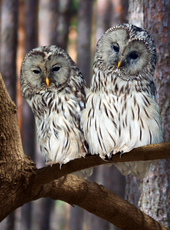 great: Two Great Grey Owls (Strix nebulosa) on tree at pine forest Stock Photo