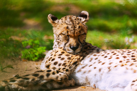 jubatus: adult cheetah  (Acinonyx jubatus) lying over grass Stock Photo
