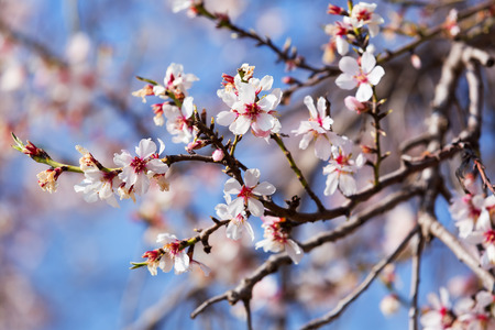 almond bud: blooming  tree  branch  against blue sky Stock Photo