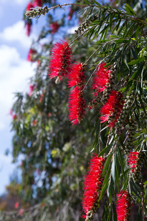 callistemon: Closeup of  Callistemon viminalis (Weeping Bottlebrush) in spring Stock Photo